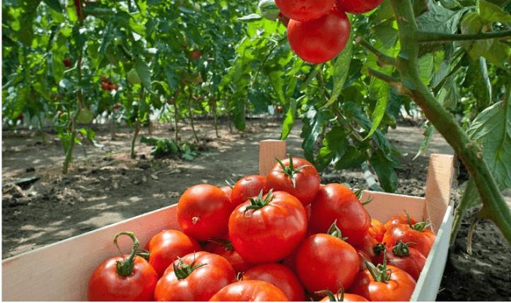 trồng cà thu hoạch với kết quả tốt