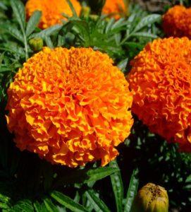 Hoa vạn thọ có khả năng sinh trưởng mạnh, kháng bệnh tốt, khả năng thích nghi rộng