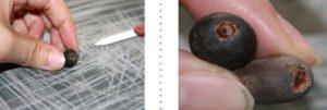 dùng dao nhọn, hoặc kéo, giấy nhám để cắt phần vỏ ở đầu nảy mầm