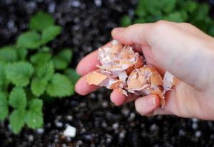 Vỏ trứng giúp cải tạo đất trồng