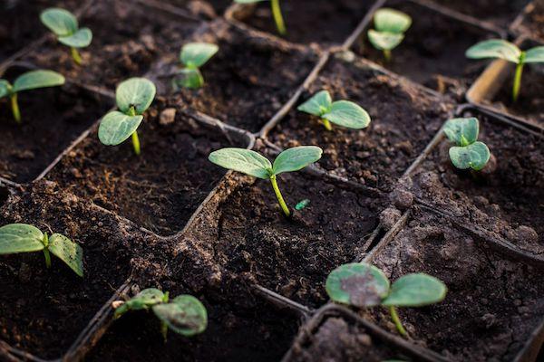 Tại sao phải ủ phân hữu cơ trước khi trồng