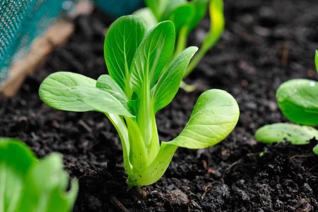 Ủ phân hữu cơ trước khi bón giúp cây dễ hấp thu dinh dưỡng và phát triển tốt hơn.