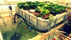 Cách bố trí mô hình trồng rau và nuôi cá trên sân thượng nhỏ gọn cho hộ gia đình