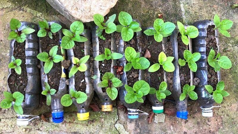 Cách trồng rau mồng tơi bằng chai nhựa