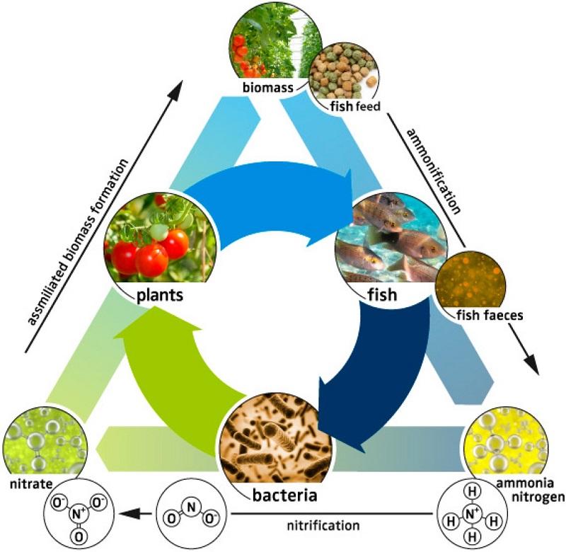 Lợi ích của mô hình nuôi cá trồng rau tại nhà
