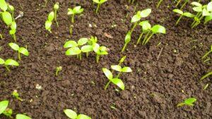 Cách gieo hạt giống rau mồng tơi đơn giản để trồng