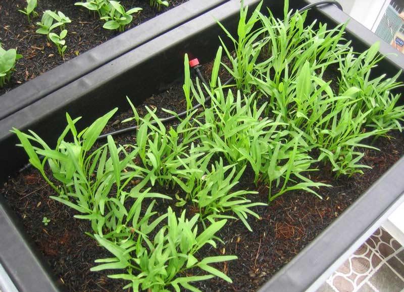 Cách gieo hạt trồng rau tại nhà