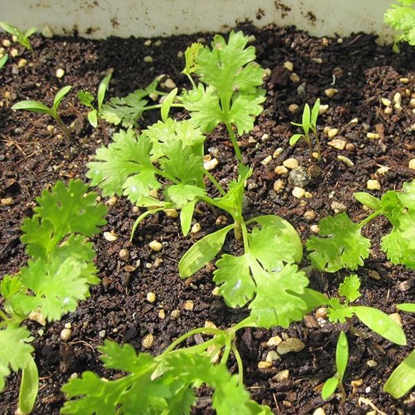 Nắm rõ phương pháp gieo hạt giống để rau phát triển mạnh mẽ và tươi tốt